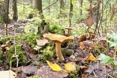 伞菌在森林里 免版税库存照片