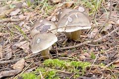 伞菌在森林里 图库摄影