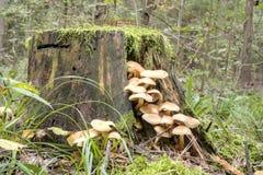 伞菌殖民地在树桩的 免版税库存图片