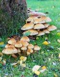 伞菌群环绕树干 免版税库存照片