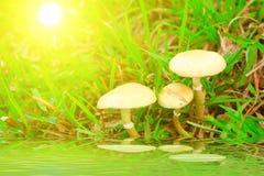 伞菌蘑菇本质上 库存照片