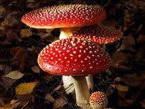 伞菌蘑菇 库存图片