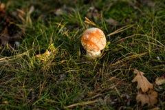 伞菌蘑菇 免版税库存图片