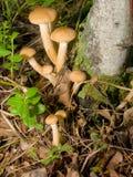 伞菌蜂蜜蘑菇 库存图片