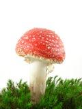伞菌飞行蘑菇 免版税库存图片