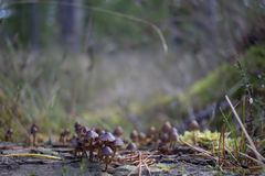伞菌,蘑菇,生长在杉木分支的真菌作为小蜘蛛走在他们在10月期间在杉木森林地 库存图片