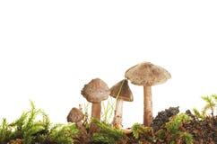 伞菌 库存照片