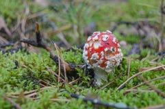 8伞菌eps在向量白色的飞行蘑菇 图库摄影