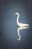 伟大或大白色白鹭狩猎在与反射的水中 免版税库存图片
