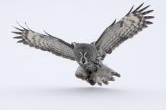 伟大灰色猫头鹰,猫头鹰类nebulosa 免版税库存图片