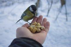 伟大的北美山雀在手边坐 库存图片