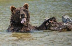伟大的北美灰熊 库存照片