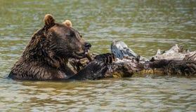 伟大的北美灰熊 免版税库存照片