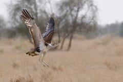 伟大的印地安鸨鸟 库存图片