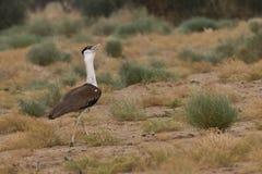伟大的印地安鸨鸟 库存照片