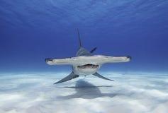 伟大的双髻鲨 库存图片