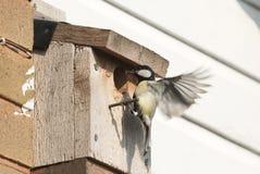 伟大的在巢箱的山雀哺养的小鸡 免版税库存照片