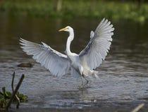 伟大的在湖边缘的白鹭Ardea晨曲着陆  免版税库存图片