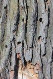 伟大的山羊座甲虫的蠕虫孔,细节 库存照片