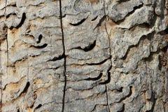 伟大的山羊座甲虫, Cerambyx cerdo的蠕虫孔 免版税库存照片