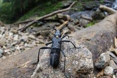 伟大的山羊座甲虫- Cerambyx cerdo 免版税图库摄影