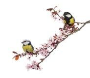 伟大的山雀和蓝冠山雀在一个进展的分支栖息,被隔绝 免版税库存照片