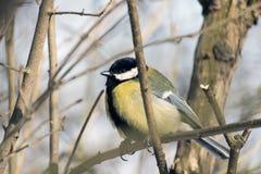 伟大的山雀在一个光秃的分支栖息并且喘气了  特写镜头 库存照片