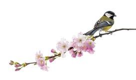 伟大的山雀在一个开花的分支,帕鲁斯o少校,被隔绝的栖息 库存图片