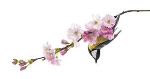 伟大的山雀在一个开花的分支,帕鲁斯o少校,被隔绝的栖息 库存照片