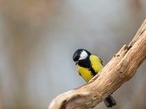 伟大的山雀在一棵老死的树,自然柔光背景的分支pearched 库存照片