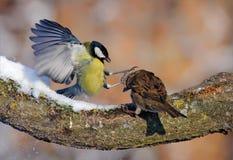 伟大的山雀在冬天与麻雀战斗 库存图片