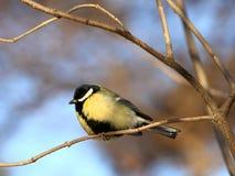 伟大的山雀在冬天森林里 免版税库存照片