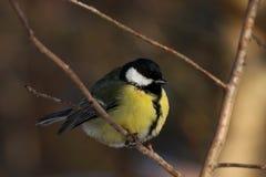 伟大的山雀在冬天森林里 免版税库存图片