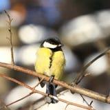 伟大的山雀在冬天森林里 库存图片