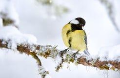 伟大的山雀在冬天 库存照片