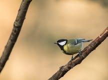伟大的山雀在分支,自然金黄背景pearched 图库摄影