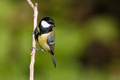 伟大的山雀在枝杈,孚日省,法国栖息 免版税库存图片