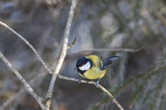 伟大的山雀在森林 免版税库存照片