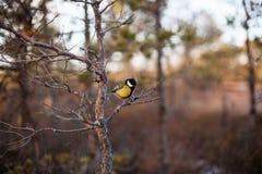 伟大的山雀在自然生态环境 库存图片