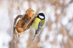 伟大的山雀坐向日葵篮子,拿着在它的额嘴的一颗种子 免版税图库摄影