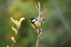 伟大的山雀坐树分支在我的野生生物庭院里 免版税库存图片