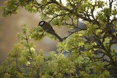 伟大的山雀鸟的面孔 免版税库存照片