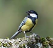 伟大的山雀鸟 库存照片