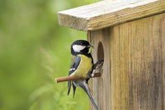 伟大的山雀,在巢孔前面,与毛虫在额嘴 免版税图库摄影