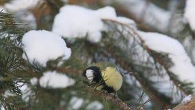伟大的山雀(帕鲁斯少校)啄种子,当坐杉木分支时 影视素材