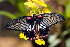 伟大的摩门教(Papilio memnon agenor)蝴蝶 免版税库存照片