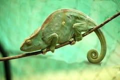 伟大的教区牧师` s变色蜥蜴, Calumma parsonii,马达加斯加 库存图片