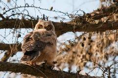 伟大的有角的猫头鹰之子 库存图片