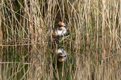 伟大的有顶饰格里布Podiceps cristatus孵化鸡蛋和坐在沼泽地芦苇中掩藏的巢 免版税库存图片