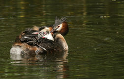 伟大的有顶饰格里布Podiceps cristatus家庭  他们的婴孩乘坐在其中一个父母背面 免版税库存图片